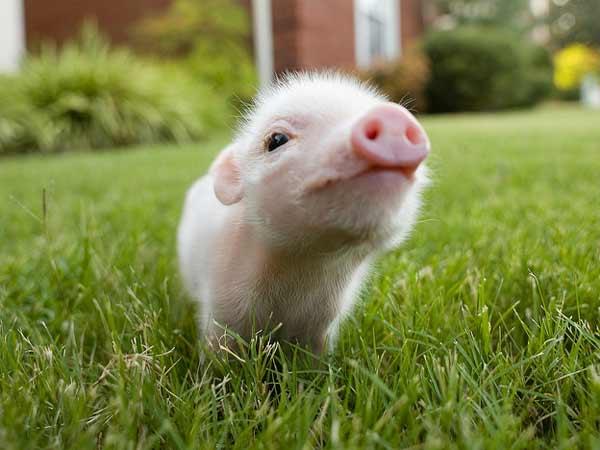 Mơ thấy lợn đánh con gì trúng lớn?