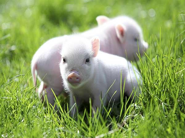 Mơ thấy lợn là điềm báo gì?